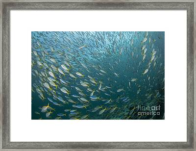 Very Large School Of Blue And Yellow Framed Print by Mathieu Meur