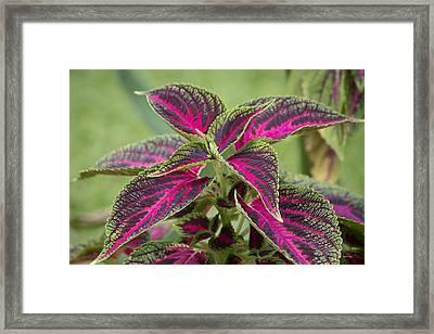 Vibrant Pink Coleus Framed Print by Betsy Knapp