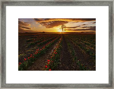 Vibrant Red Rows Of Tulips In Skagit At Sunset Framed Print by Mike Reid