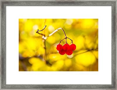 Viburnum Berries - Natural Olympic Emblem Framed Print by Alexander Senin