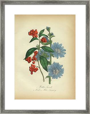 Victorian Botanical Illustration Of Bittersweet And Blue Succory Framed Print by Peacock Graphics