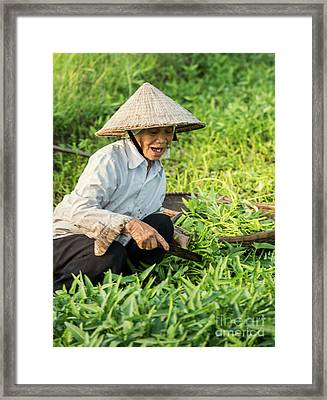 Vietnamese Woman In Rice Paddy Framed Print by Juli Scalzi