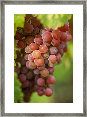 Vine With Red Grapes Framed Print by Jenny Rainbow