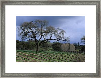 Vineyard - Foxen Canyon Framed Print by Soli Deo Gloria Wilderness And Wildlife Photography