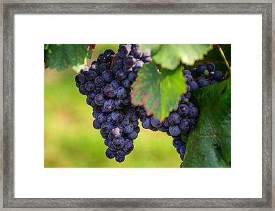Vineyard Harvest Time Framed Print by Jenny Rainbow