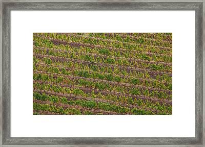 Vineyard Of Portugal Framed Print by David Letts