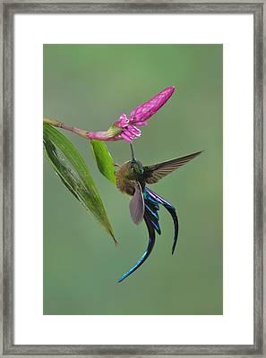 Violet-tailed Sylph In Ecuador Framed Print by Juan Carlos Vindas