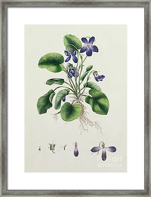 Violets Framed Print by English School