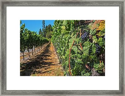 Walking Down The Vineyard Sebastopol Ca Framed Print by Toby McGuire