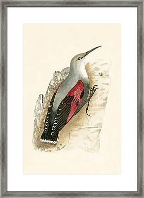Wall Creeper Framed Print by English School