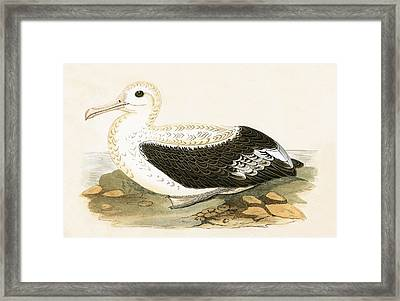Wandering Albatross Framed Print by English School