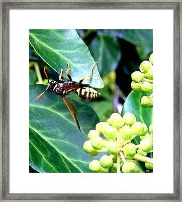 Wasp On The Ivy Framed Print by Will Borden