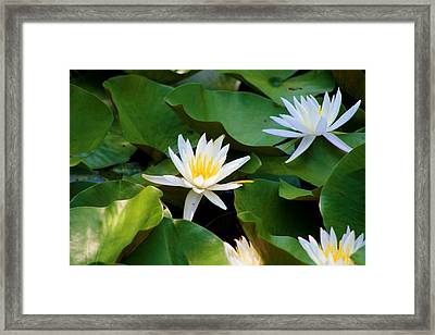 Water Lilies Framed Print by Dana  Oliver
