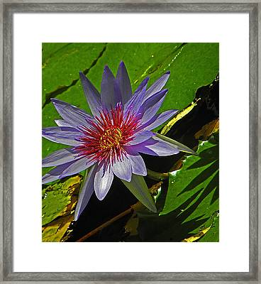 Water Lilly Framed Print by Elizabeth Hoskinson