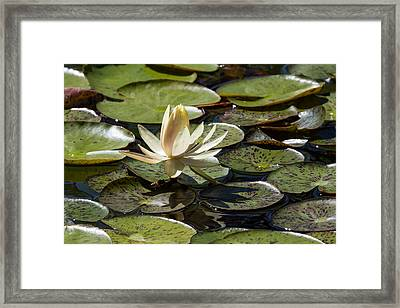 Water Lily And Bee Framed Print by John Daly