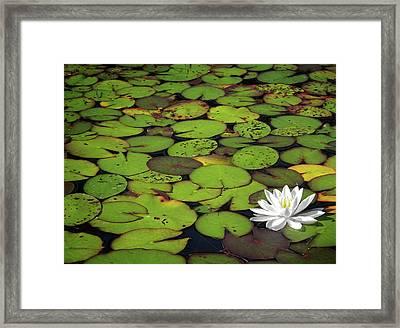 Water Lily Framed Print by Elisabeth Van Eyken