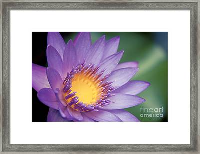 Water Lily Nymphaea Nouchali Star Lotus Framed Print by Sharon Mau
