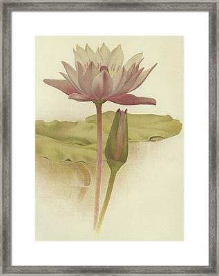 Water Lily  Nymphaea Zanzibarensis Framed Print by English School