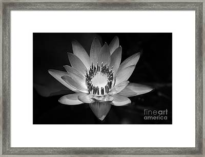 Water Lily Framed Print by Sharon Mau