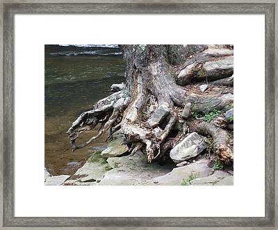 Water Tree Roots Framed Print by Carla Russell