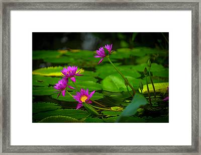 Waterlily Blossoms Framed Print by Garry Gay