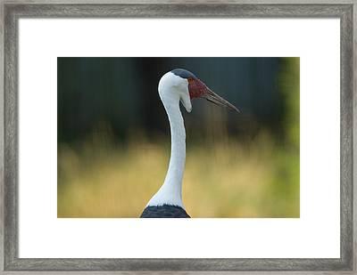 Wattled Crane At Omahas Henry Doorly Framed Print by Joel Sartore