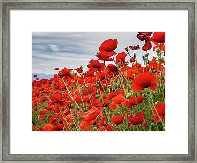 Waving Red Poppies Framed Print by Jean Noren