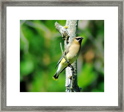 Wax Wing In A Small Branch  Framed Print by Jeff Swan