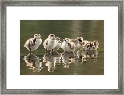 We Are Family - Seven Egytean Goslings In A Row Framed Print by Roeselien Raimond