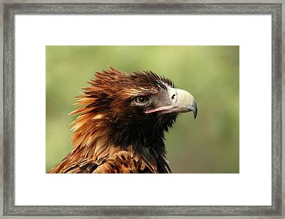 Wedge-tailed Eagle Framed Print by Marion Cullen