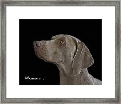 Weimaraner Framed Print by Larry Linton