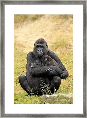 Western Gorilla And Young Framed Print by Jurgen & Christine Sohns/FLPA