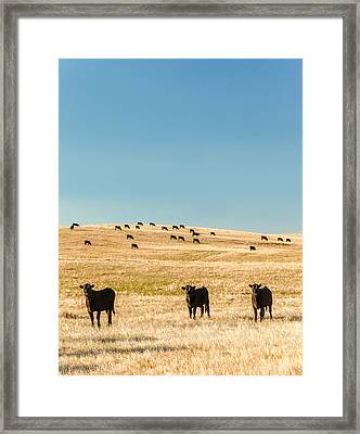 Western Herd Of Cattle Framed Print by Todd Klassy