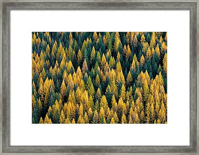 Western Larch Forest Framed Print by Leland D Howard