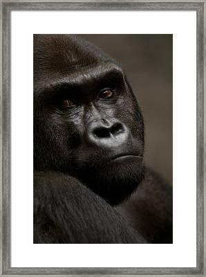 Western Lowland Gorilla At Omahas Henry Framed Print by Joel Sartore