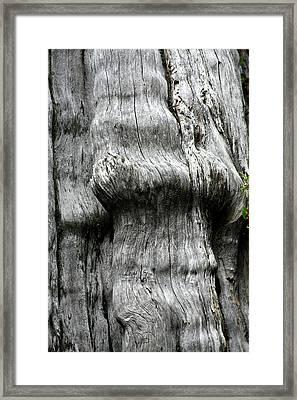 Western Red Cedar - Thuja Plicata - Olympic National Park Wa Framed Print by Christine Till