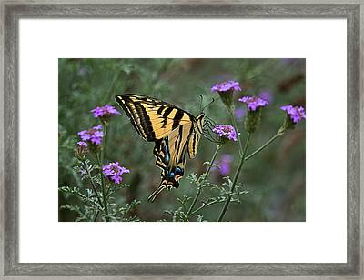Western Tiger Swallowtail Butterfly Pollination Beauty Framed Print by Leslie Reagan -  Joy To The Wild Photos