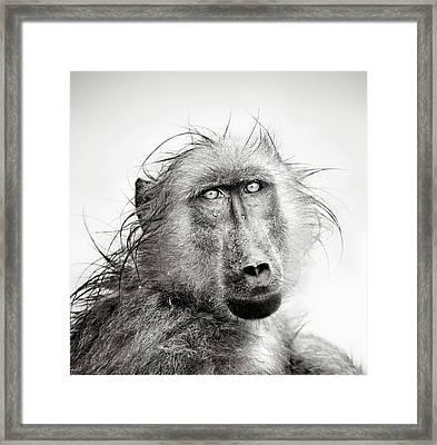 Wet Baboon Portrait Framed Print by Johan Swanepoel
