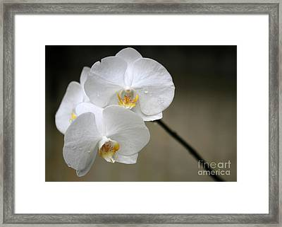 Wet White Orchids Framed Print by Sabrina L Ryan