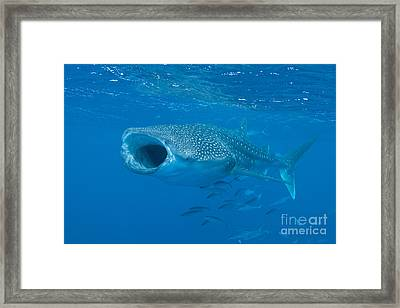 Whale Shark, Ari And Male Atoll Framed Print by Mathieu Meur