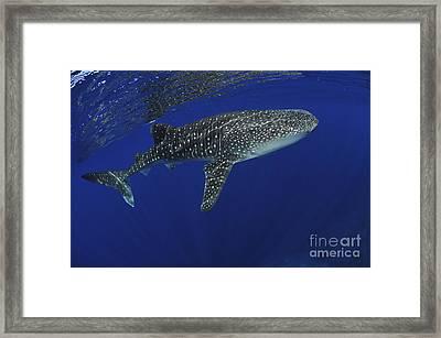 Whale Shark Near Surface With Sun Rays Framed Print by Mathieu Meur