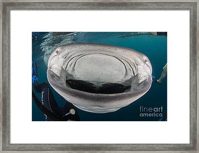 Whale Shark Swimming Towards Divers Framed Print by Mathieu Meur
