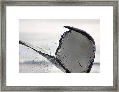 Whale Tail Close Up Framed Print by Kristin Elmquist