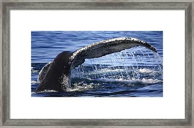 Whale Tail Framed Print by Dapixara Art