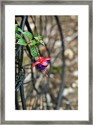 Wheel And Fushia Blossom Framed Print by Douglas Barnett