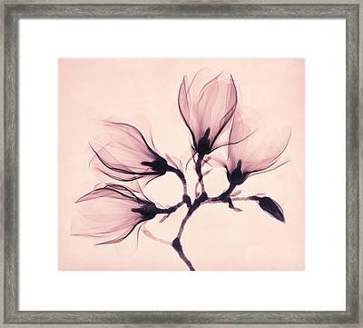 Whisper Magnolia Framed Print by Mindy Sommers