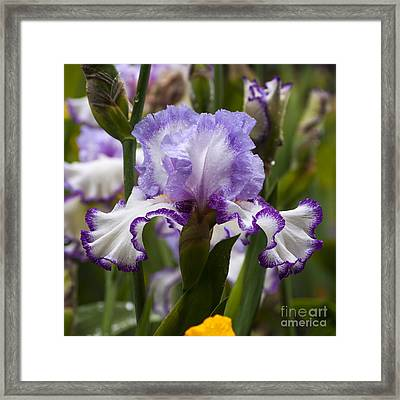 White And Purple Iris With Water Dops - Sq Framed Print by Mandy Judson