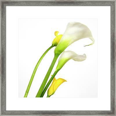 White Arums In Studio. Flowers. Framed Print by Bernard Jaubert