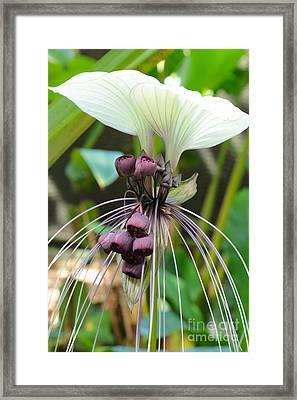 White Bat Flower Framed Print by Carol Groenen