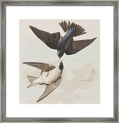 White-bellied Swallow Framed Print by John James Audubon